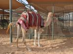 Nearby Stables with many camels. Further details are available.