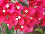 And of course Bougainvilleas