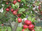 Harvest time in The Orchard. A fabulous crop of cider apples is almost ready.. all welcome to join!