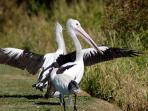 Pelicans and ibis by the creek