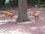 Row deer in the forest