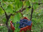 Amazing wineries to explore.  Harvest season in September.