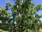 Apricotes 01. June