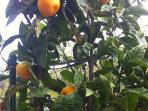 Mandarine in October