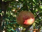 Pomegranates in October
