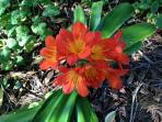 Clivia at Hebe - late Sept