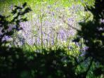 Bluebells in spring.