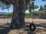 Oak tree with tire swing