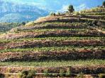Vinyes/viñas Escaladei