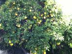 loads of citrus trees in the yard... Meyer lemons, grapefruit, oranges and lime!