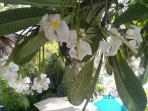 Fragrant Frangipani Tree