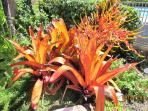 BLOOMING BROMELIAD BY THE LAWN AREA