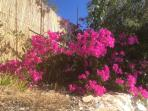Beautiful bougainville and oleander