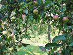 The beautiful orchard across from the cottage is filled with apple and pear trees.
