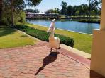 Friendly pelican comes to say hello