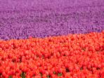The Keukenhof flowerfields (April & May) are just 15 km from Hoofddorp (copyright:edwindejongh)