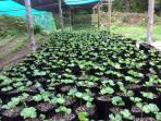 Coffee seedlings in our plantation nursery