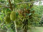 Jakfruit, one of over 20 varieties of exotic tropical fruits at Daintree Valley Haven