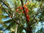Flame of the Forest vine in Poinciana tree, Coconut Palm behind.  Daintree Valley Haven garden.
