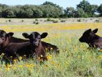 We Raised Organic Angus Beef