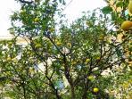 OS Garden - Maison de Charme - La raccolta dei limoni