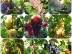 le bouquet de nos raisins en Alsace
