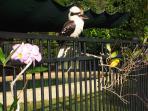 Resident kookaburra.