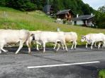 The Transhumance.  Cattle and sheep passing our gate on the way up to the mountain pastures in June