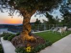 Olive tree and sunset