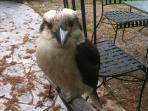 Feed the visiting kookaburra!