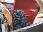 The Wine Harvest