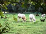 Kühe im Uchter Moor