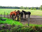 Pferde auf einer Moorweide