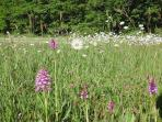 The meadow in June - wild orchids and wild flowers in abundance!