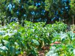 Our vegetable garden, enjoy fresh vegetable with your meal!
