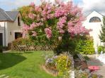 Lilas des indes en fleurs