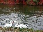 Swans and ducks visiting Pixie Place, expectantly waiting to be fed and they're not shy!