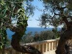 arrival view of old olive trees