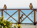 Bayuh Sabbha - Local wildlife - Monkeys on the fence