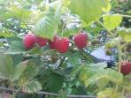 Fresh raspberry in July and August