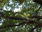The canopy of the great oak tree