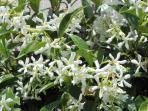 In het voorjaar bloeit en geurt de jasmijn.