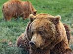 Nuestros osos pardos Paca, Tola, Furaco y Molinera.