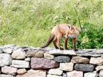 wildlife -fox on boundary wall