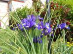 Un bouquet d'iris