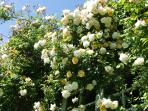 Roses covering the upstairs bedroom window in June