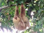 2 Toed Sloth. All pics are taken by our camera or guests on the property.