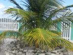 A coconut tree in the garden of Sea Grape Villas