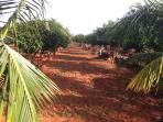 Mango Orchards at William Orchards