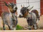 Our pet pygmy goats, Rocky & Jessy